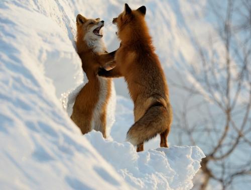 狐,キツネ,画像,まとめ020