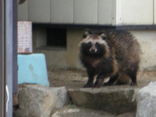 狸,タヌキ,画像,まとめ021