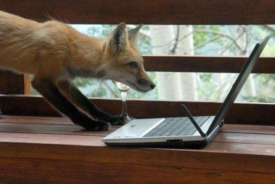 パソコンに興味津々なキツネがかわいい