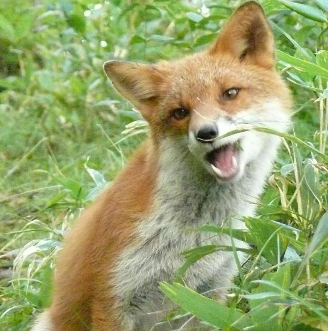 狐,キツネ,画像,まとめ030