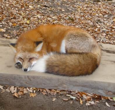 狐,キツネ,画像,まとめ038