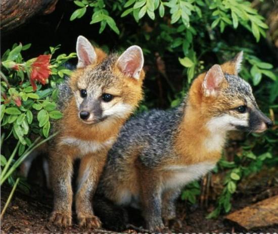 狐,キツネ,画像,まとめ040