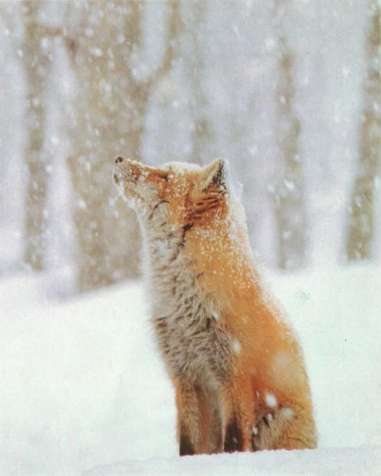 狐,キツネ,画像,まとめ041