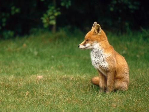 狐,キツネ,画像,まとめ042