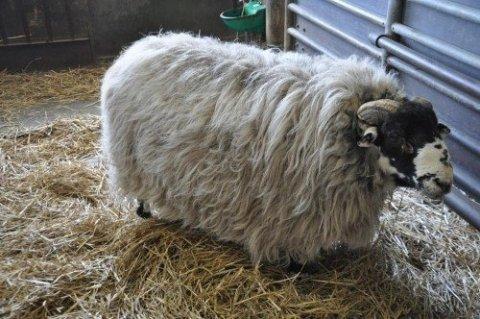 可愛い,世界,ヒツジ,羊,画像,まとめ046