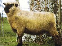 可愛い,世界,ヒツジ,羊,画像,まとめ047