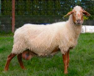 可愛い,世界,ヒツジ,羊,画像,まとめ048