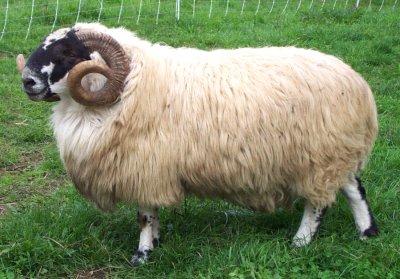 可愛い,世界,ヒツジ,羊,画像,まとめ050