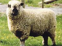 可愛い,世界,ヒツジ,羊,画像,まとめ051