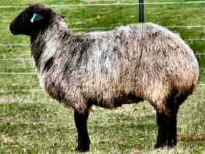 可愛い,世界,ヒツジ,羊,画像,まとめ052