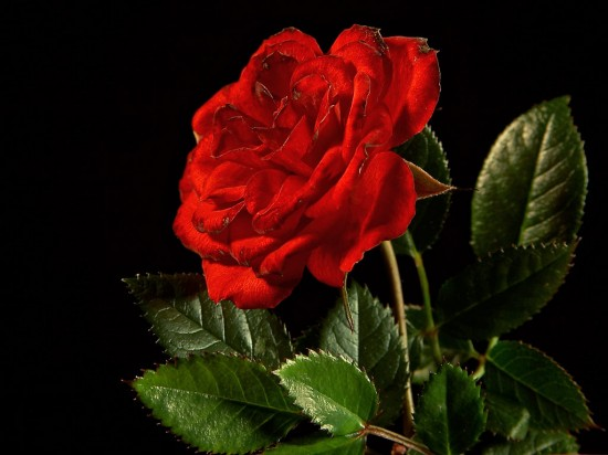 バラ,画像,まとめ001