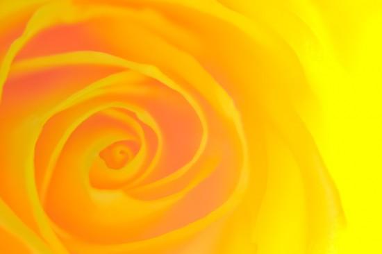 バラ,画像,まとめ014