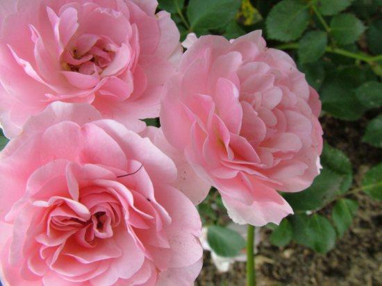 バラ,画像,まとめ015