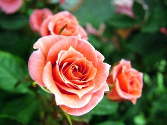 バラ,画像,まとめ017