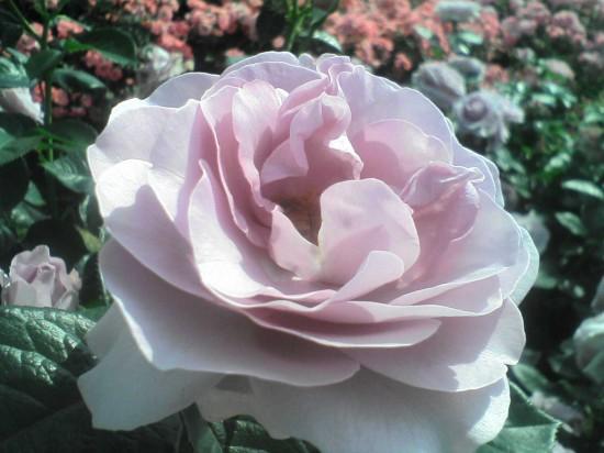 バラ,画像,まとめ018