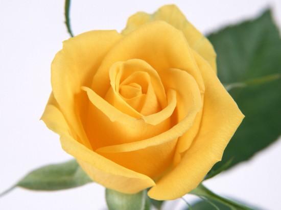 バラ,画像,まとめ019