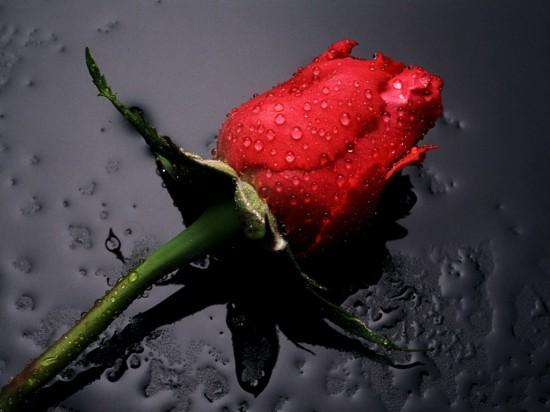 バラ,画像,まとめ020