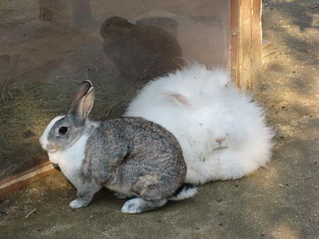 モフモフ,アンゴラウサギ,画像,まとめ005