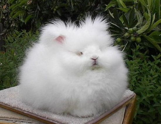 モフモフ,アンゴラウサギ,画像,まとめ012