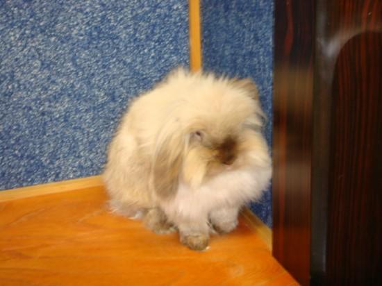モフモフ,アンゴラウサギ,画像,まとめ013