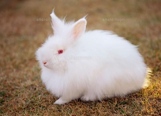 モフモフ,アンゴラウサギ,画像,まとめ019