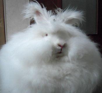 モフモフ,アンゴラウサギ,画像,まとめ021