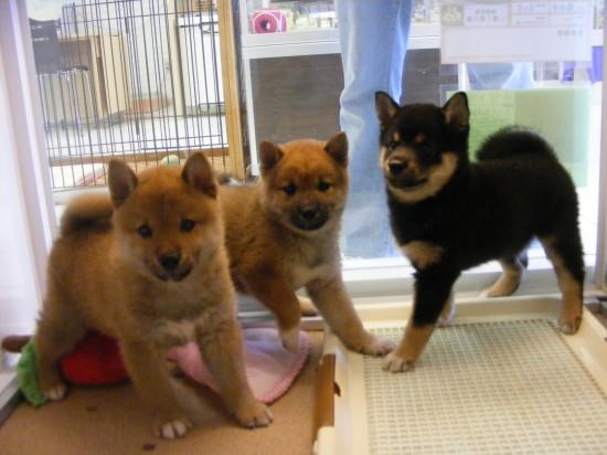 カッコいい,可愛い,日本犬,画像,まとめ010