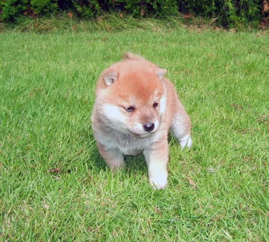 カッコいい,可愛い,日本犬,画像,まとめ018