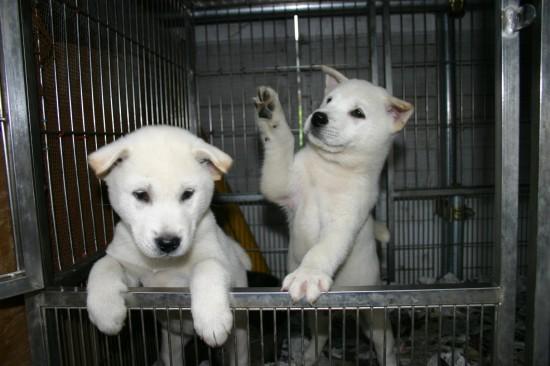カッコいい,可愛い,日本犬,画像,まとめ058