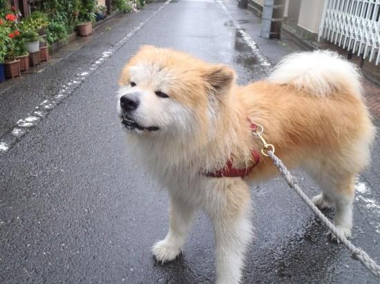 カッコいい,可愛い,日本犬,画像,まとめ084