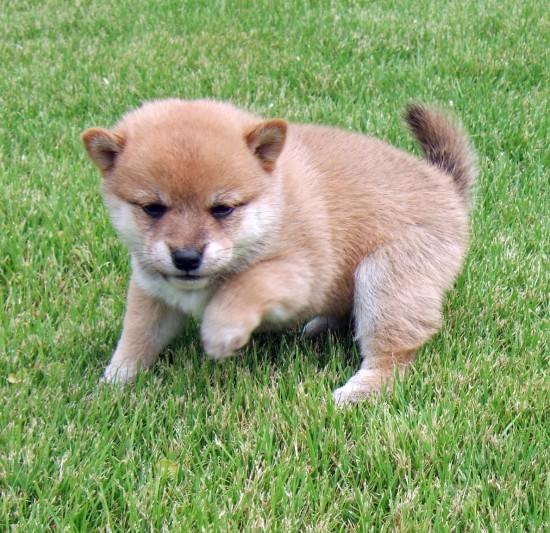 カッコいい,可愛い,日本犬,画像,まとめ112