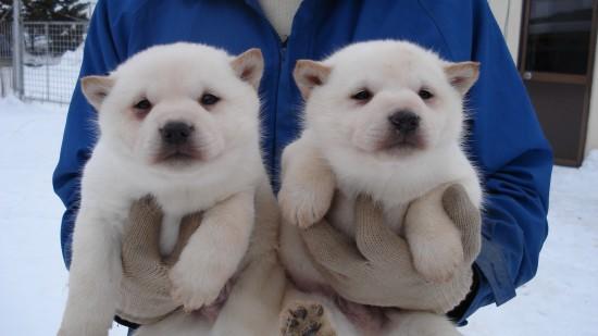 カッコいい,可愛い,日本犬,画像,まとめ135