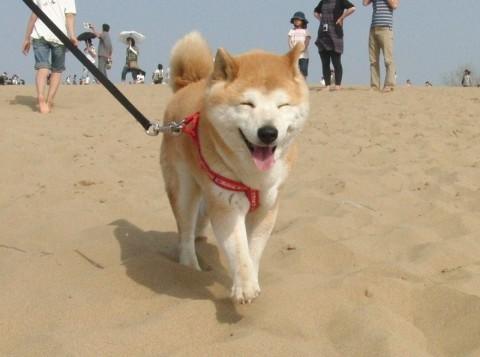 萌え,柴犬,画像,まとめ001