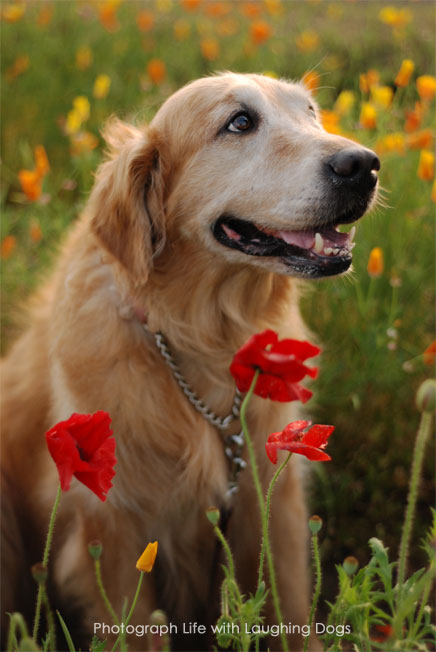 厳選,ゴールデンレトリバー,犬,画像,まとめ001