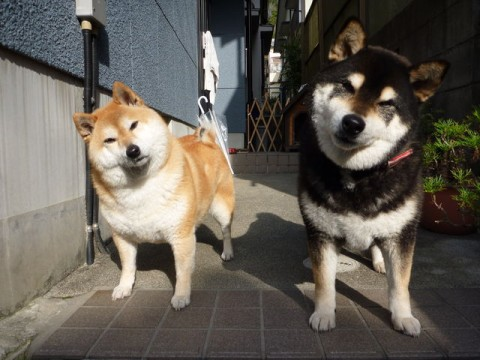 可愛すぎ,かしげる,犬,画像,まとめ002