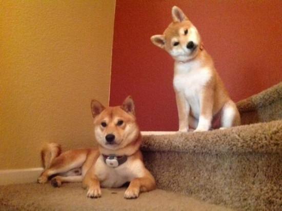 可愛すぎ,かしげる,犬,画像,まとめ003