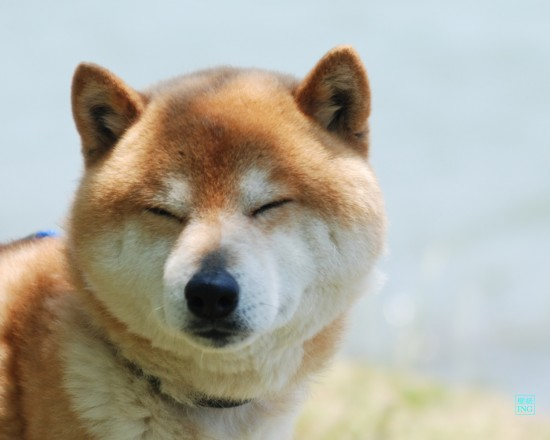 萌え,柴犬,画像,まとめ003