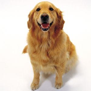 厳選,ゴールデンレトリバー,犬,画像,まとめ004