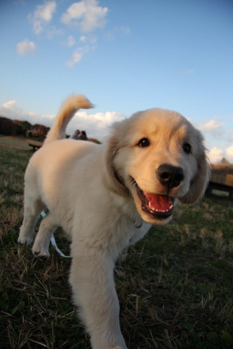 厳選,ゴールデンレトリバー,犬,画像,まとめ005
