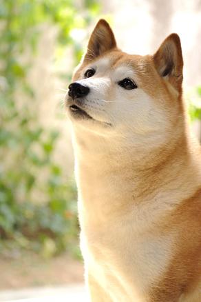 萌え,柴犬,画像,まとめ005