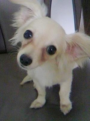 可愛すぎ,かしげる,犬,画像,まとめ006