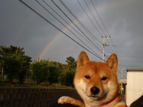 萌え,柴犬,画像,まとめ010