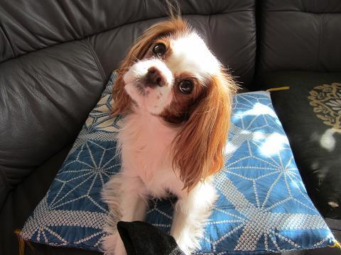 可愛すぎ,かしげる,犬,画像,まとめ010