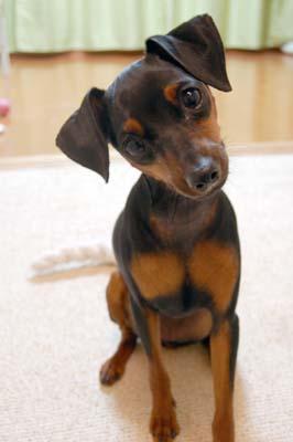 可愛すぎ,かしげる,犬,画像,まとめ012