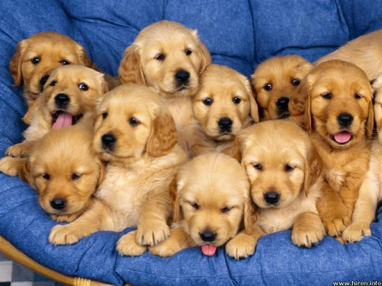 厳選,ゴールデンレトリバー,犬,画像,まとめ016