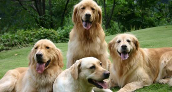 厳選,ゴールデンレトリバー,犬,画像,まとめ022