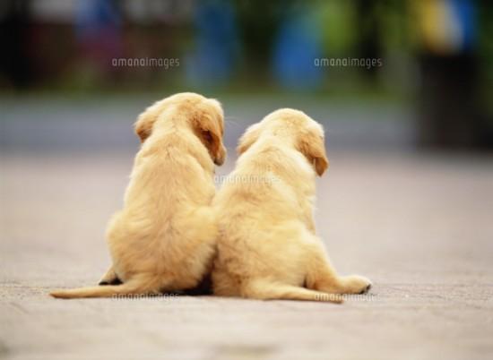 厳選,ゴールデンレトリバー,犬,画像,まとめ024