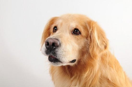 厳選,ゴールデンレトリバー,犬,画像,まとめ028