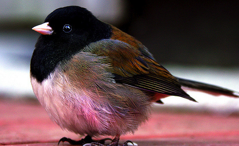丸い,可愛い,鳥,画像001