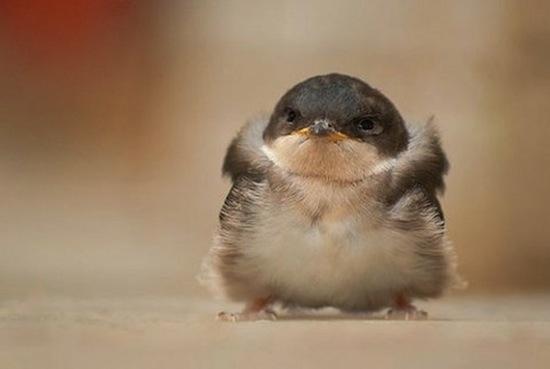 丸い,可愛い,鳥,画像004